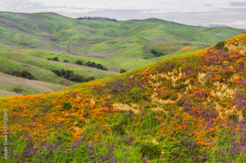 A hill full of poppies during Southern California's super bloom