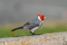 Red-crested Cardinal On Oahu, Hawaii