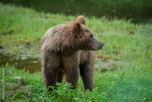Wary Young Bear, Pack Creek