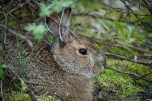 Snowshoe Hare, Denali