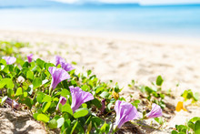 Purple Beach Morning Glory Flower Over Blurred Beach Background, Summer Outdoor Day Light, Nature Concept