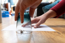 Caught Big Dark Common House Spider Under A Drinking Glass On A Smooth Wooden Floor Seen From Ground Level In A Living Room In A Residential Home With Two Male Hands