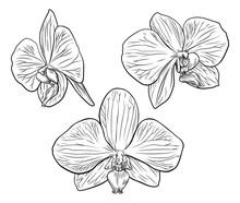 An Original Illustration Of An Orchid Flower In A Vintage Woodcut Etching Style