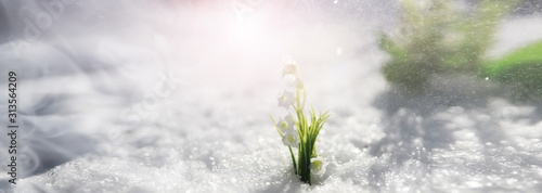 Obraz The first spring flower. Snowdrop in the forest. Spring sunny day in the forest. - fototapety do salonu