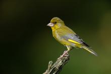 European Greenfinch Sitting On A Branch