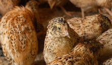 Young Quail Fattening In Cages On A Quail Farm.