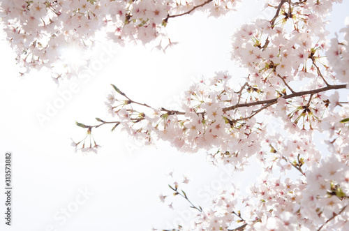 Photo 満開の桜
