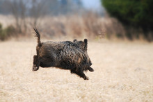 Wild Boar, Sus Scrofa, Running...