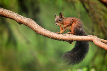 Cute Red Squirrel In Autumn Pa...