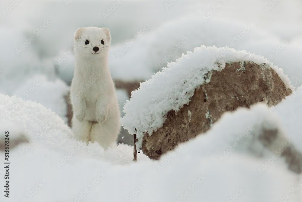 Fototapeta Mustela erminea like a state in winter snow, Weasel. Ermine