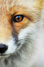 Red Fox Portrait. Smart Foxes In Natural Habitat.