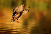Duck Fly In Autumn Light. Ducks Is Flying Over The Little Pond. Anas Platyrhynchos