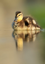 Beautiful Little Duck Swimming In Water Pond.