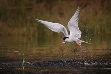 Common Tern Bird In Action With Gold Fish On Color Bacground, Sterna Hirundo