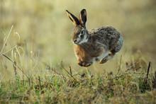 Hare Running In The Green Field. Rabit In Fly.