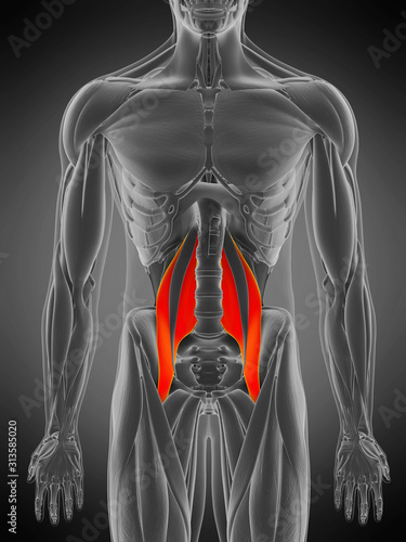 3d rendered medically accurate muscle anatomy illustration - psoas major