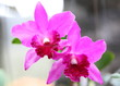 canvas print picture - Close up pink Cattleya orchid