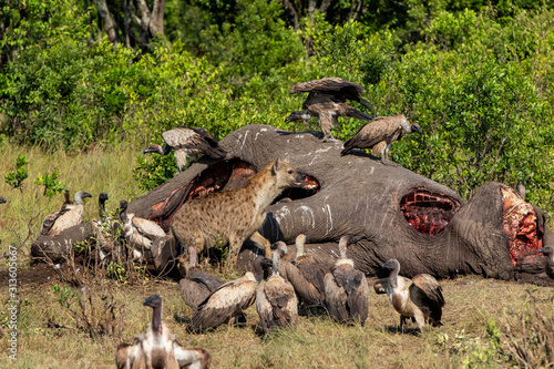 Cuadros en Lienzo hyena and vultures near the carcass of an old male elephant in the Masai Mara Ga