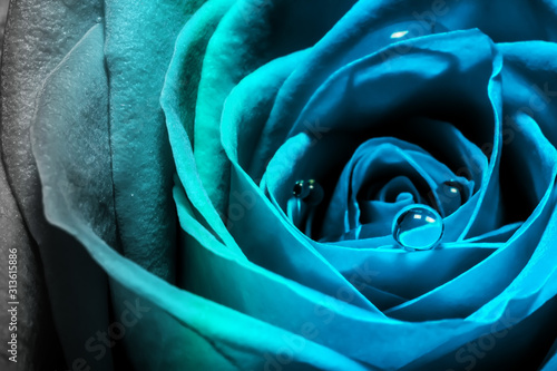 Creative macro photo of a rose flower with drops of water close-up with a gradient in the 2020 color trend in blue tones.