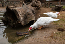 The Muscovy Duck Drinks Water ...