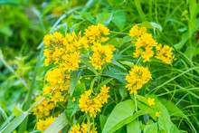 Yellow Loosestrife, Lysimachia Vulgaris, With Yellow Flowers Among Grasses And Reeds