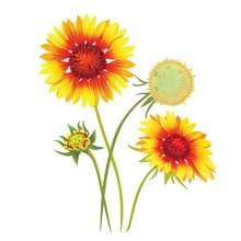 Gaillardia Pulchella Flower. Beautiful Natural Blossom Petal. Garden Plant Bloom. Vector