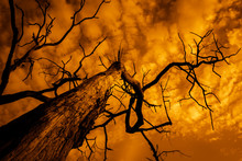 Silhouette Of Dead Tree With Sky On Fire, Burnt Tree With Branches Rising To Cloudy And Dramatic Sky, Apocalyptic Landscape At Sunset