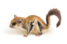 The Javanese Flying Squirrel (...