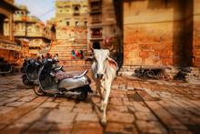 Tilt Shift Lens - Cow On Stree...