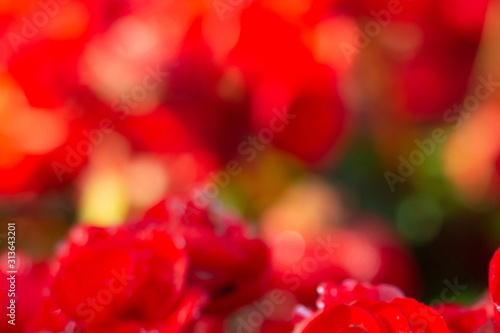 beautiful begonia flowers made with color filters (Soft focus, Background)