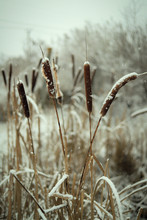 Snow-covered Dry Reeds In Winter