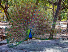 Beautiful Peacock With Its Colourful Feathers Fanned In Display