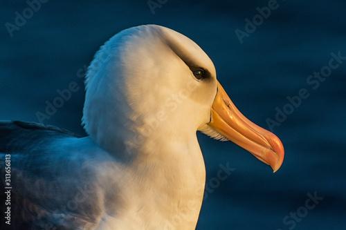 Obraz na plátně Albatros auf Helgoland
