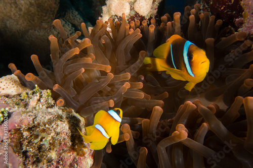 Fototapeta Red Sea Clown fish, anemone fish, Amphiprion bicinctus, forming a symbiotic rela
