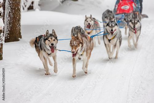 fototapeta na drzwi i meble sledge dogging, Sedivacek's long, Czech Republic