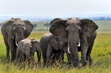 A Group Of Elephants Cools Off...