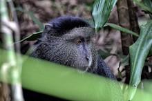 A Monkey Eats His Breakfast