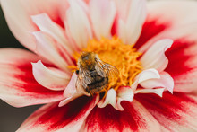 Close-up View Of Bee On Pink, White And Yellow Dahlia Flower