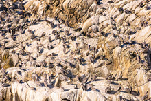 California Brown Pelicans Cover The Rocks In The Monterey Bay
