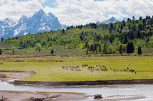 Herd Of Horses In A Field, Buf...