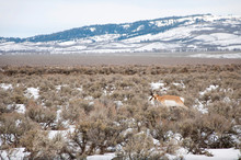 Unseasonable Pronghorn Seen At The Beginning Of Winter In Jackson Hole