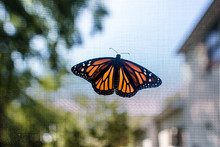 Monarch Butterfly Resting With Wings Open On Screen With Trees Behind