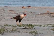 Northern Crested Caracara (Car...