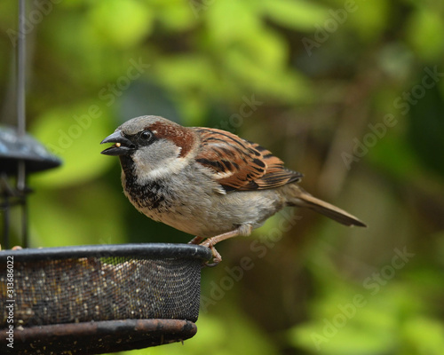 Fotografía Male House Sparrow (Passer domesticus)