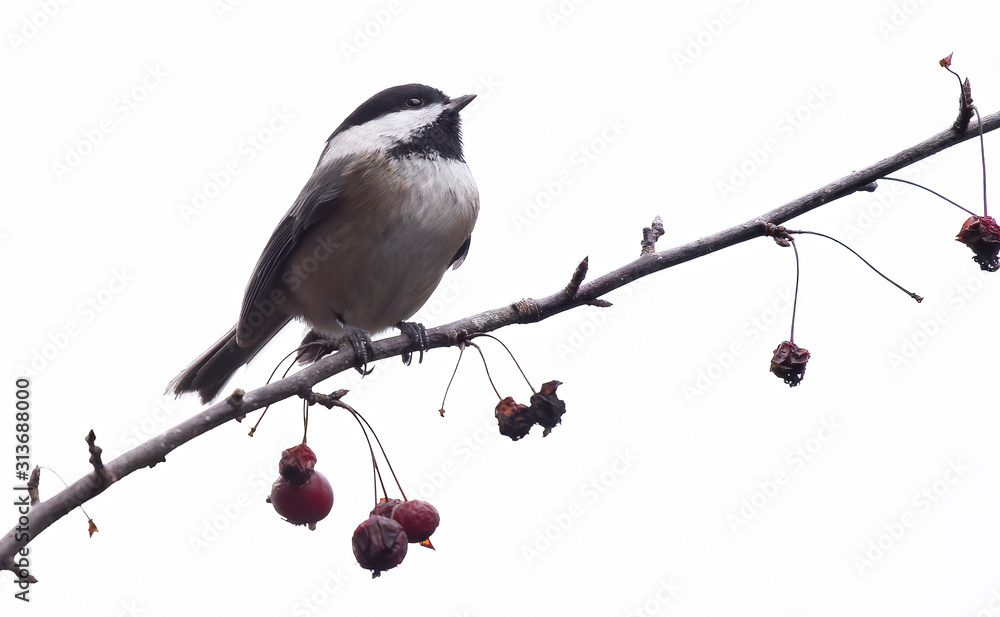 Fototapeta Hi key photos of isolated Chickadee on tree branch with red crabapple berries