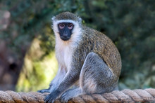 Cute Wild Animal Vervet Monkey In Jungle