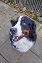 Portrait Of A Happy Bernese Mountain Dog, Head Turned Away, Sitting