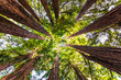 Leinwanddruck Bild - Looking up in a Coastal Redwood forest (Sequoia Sempervirens), converging tree trunks surrounded by evergreen foliage, Purisima Creek Redwoods Preserve, Santa Cruz Mountains, San Francisco bay area