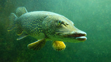 The Northern Pike - Esox Luciu...