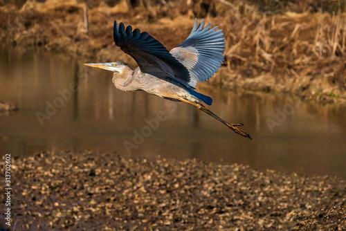 Fotografija great blue heron in flight
